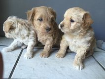 Cute puppies need a home in Travis AFB, California