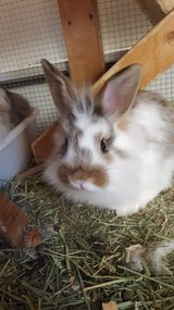 ~?~ Lionhead Female Baby Bunny ~?~ in Tinley Park, Illinois