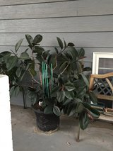 Rubber tree plant in Lawton, Oklahoma