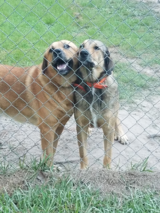 Sam and Six (Pyreneee / Shepard mix) in Fort Polk, Louisiana