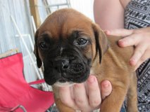 Boxer Pups in Fort Polk, Louisiana