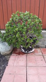 Jade Plant in Camp Pendleton, California