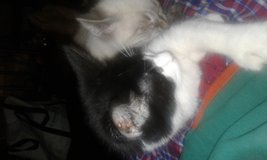 6 month old 7 toed cat in Fort Drum, New York
