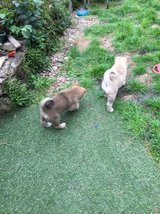 Lovely Akita Puppies For free Adoption in Fort Riley, Kansas