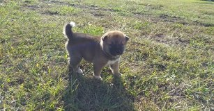 Adorable Shiba Inu Puppy for free adoption in Fort Riley, Kansas
