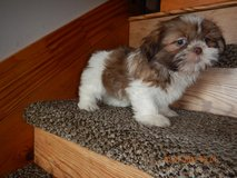 Adorable Shih Tzu Puppy For Free Adoption in Fort Riley, Kansas