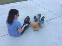 2 Silkie Roosters For Sale (1) Buff and (1) Splash in Camp Lejeune, North Carolina