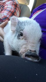 potbelly pig in Fort Polk, Louisiana