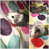Guinea pig babies in Chicago, Illinois