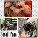 Royal Palm Turkey Poults / Turkeys in Fort Polk, Louisiana