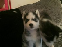 male and female Siberian husky puppies in Misawa AB, Japan