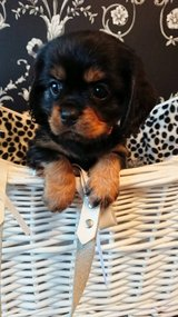 Beautiful Cavalier King Charles Puppies in Fort Irwin, California
