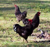 Roosters  Free Range in Camp Lejeune, North Carolina