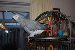 African Grey Parrots in Naperville, Illinois