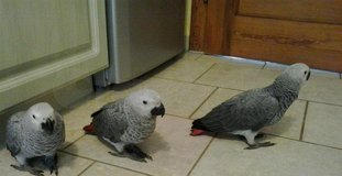 African Grey Parrots For For Sale in Yorkville, Illinois