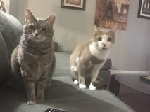 TWO FREE CATS (HAVE SHOTS AND ARE SPAYED/NEUTERED) in Camp Lejeune, North Carolina