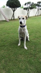 Sweet Dog Looking for Forever Home in Okinawa, Japan