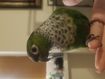 Conure parrorit in Fort Belvoir, Virginia