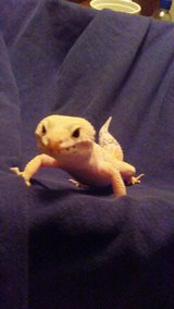 adult leopard geckos Only 2 left!! in Alamogordo, New Mexico