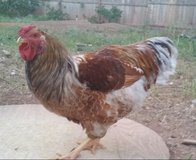 Blue Laced Red Wyandottes Roosters in Alamogordo, New Mexico