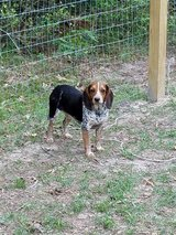Female Beagle in Beaumont, Texas
