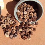 Pine cones natural (and local) for your art projects in 29 Palms, California