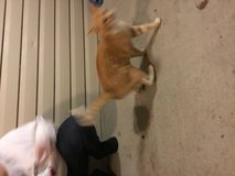 Orange male cat found in Clarksville, Tennessee