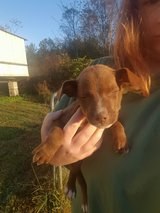 Pit bull mix puppy in Bowling Green, Kentucky