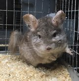 10 Year Old Hetero Beige Female Chinchilla Up for Adoption in Chicago, Illinois