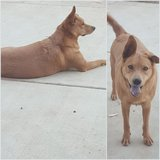Mix Lab with golden retriever in Temecula, California