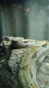 Hog Island Boa in Alamogordo, New Mexico
