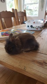Adorable 8 week old lionhead baby rabbit in Tinley Park, Illinois
