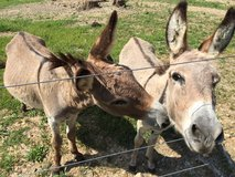 """3 Miniature Donkeys - breeding pair and """"baby"""" in Fort Campbell, Kentucky"""