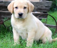 akc registered labrador retrievers in Bellaire, Texas