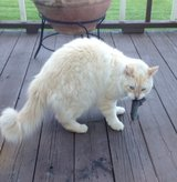 Lost cat in Fort Drum, New York