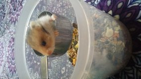 Hamster in Temecula, California