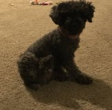 2 year old poodle in Fort Riley, Kansas