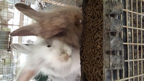 Lion head rabbits in Conroe, Texas