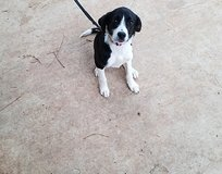 border collie mix puppy in Leesville, Louisiana