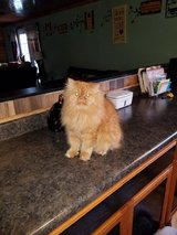 5 Persians and 2 Himalayans in need of new home in Fort Drum, New York