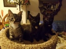 10 week old kittens in Mountain Home, Idaho