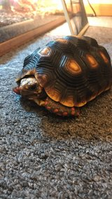 Red foot tortoise with tank and everything in Naperville, Illinois