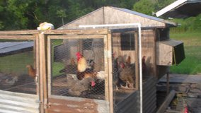 chickens full grown hens , and roosters , Easter eggers , rocks road island reds, and more in Liberty, Texas