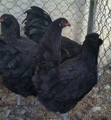 Ameraucana Laying Hens/Chickens-Rare colors & Lays Blue Eggs in 29 Palms, California