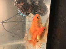 Two ryukin goldfish to good Home! in Naperville, Illinois