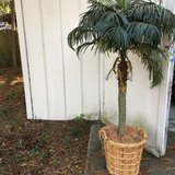 6 ft Tall Palm Tree in Beaufort, South Carolina