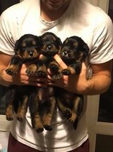 Rottweiler Pups..ready Now in Mountain Home, Idaho