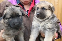 Gorgeous German Shepherd Puppies in Honolulu, Hawaii