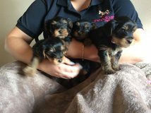 !!50% off Teacup Yorkie Puppies TEXT (936) 851-1340 in Lackland AFB, Texas
