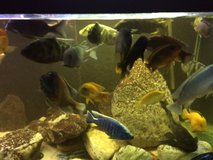 Large Cichlid Fish For Sale in Alamogordo, New Mexico